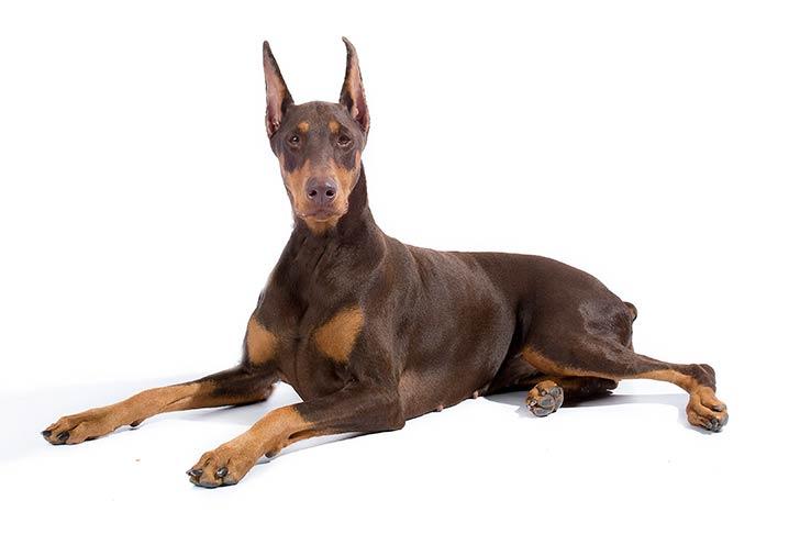 Chó Doberman