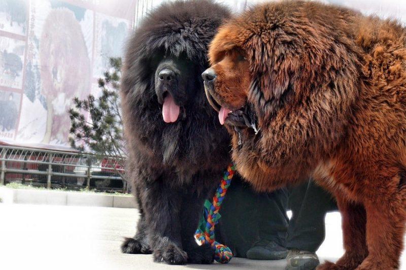 Chó Ngao Tây Tạng Puppys House